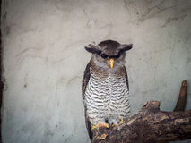 De versperde Eagle-uil (Bubo-sumatranus) Stock Afbeelding