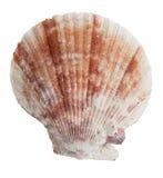 De verstijfde van angst helft van de oceaanzeeschelpen Stock Afbeeldingen