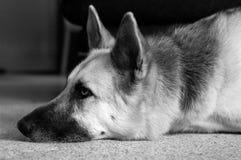 De Versuftheid van de hond Stock Foto