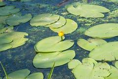 De vert couverture du ` s de protection lilly la surface d'un étang Photos stock