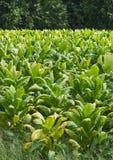 De Verticaal van het Gebied van de tabak royalty-vrije stock foto's