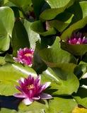 De verticaal van waterlelies Stock Foto's