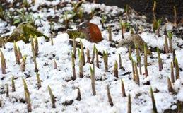 De vervloekte lelietje-van-dalen Het sneeuwde opnieuw De vorst van de lente Royalty-vrije Stock Fotografie