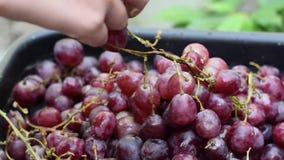 De verwerking die van de het huiswijn van het druivenfruit fruit verwijderen uit stam met naakte handen stock video