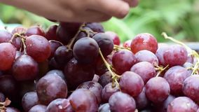 De verwerking die van de het huiswijn van het druivenfruit fruit verwijderen uit stam met naakte handen stock videobeelden