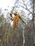 De verworpen knoppen van een boom in noordelijk Yakutia Stock Afbeeldingen