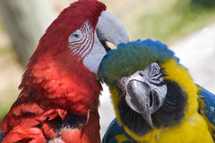 De verzorgende Groene Ara van de Ara van de Vleugel Blauwe Gouden Stock Fotografie