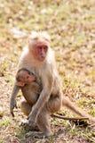 De Verzorging van Macaque van de bonnet royalty-vrije stock foto