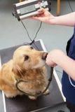 De veterinaire Chirurgie van Verpleegstersweighing dog in Stock Fotografie