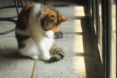 De vette kat likt en likt, schoonmakend royalty-vrije stock afbeelding