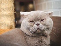 De vettige grijze kat slaapt Royalty-vrije Stock Fotografie