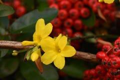 De vibrerande gulingarna av vintern Jasmine Flowers Contrast med det djupt - rött av vinterbär på en kall vinterdag fotografering för bildbyråer