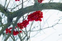 De Viburnumvruchten hangen in de koude stock afbeelding