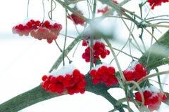 De Viburnumvruchten hangen op vorst stock afbeelding