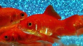 De video van de aquariumgoudvis met elektrische blauwe achtergrond stock videobeelden
