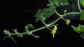 De video van de tijdtijdspanne 4k van watermeoln krullende spruit met zich het gele bloem bewegen Sluit omhoog geschoten op donke stock video