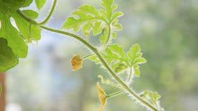 De video van de tijdtijdspanne 4k van watermeoln krullende spruit met zich het gesloten gele bloem bewegen Sluit omhoog geschoten stock footage