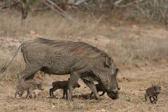 De vier kleine varkens Royalty-vrije Stock Afbeelding