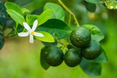 De Vietnamese groene sinaasappelen groeien in Mekong Delta Stock Fotografie