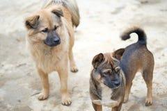 De Vietnamese lokale honden bij kunnen Cau op de markt brengen, Simacai-Stad, Lao Cai, Vietnam Stock Foto's