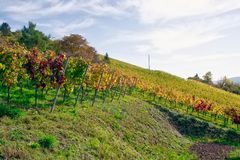 De vignoble de rangées de vin automne changeant d'automne de saisons de journée dehors images stock