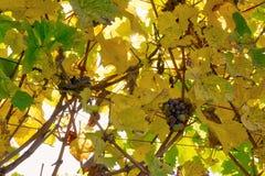 De vignoble de rangées de vin automne changeant d'automne de saisons de journée dehors photographie stock libre de droits