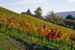De vignoble de rangées de vin automne changeant d'automne de saisons de journée dehors Images libres de droits