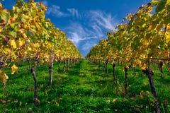 De vignoble de rangées de vin automne changeant d'automne de saisons de journée dehors Image stock
