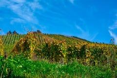 De vignoble de rangées de vin automne changeant d'automne de saisons de journée dehors Photo stock