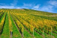 De vignoble de rangées de vin automne changeant d'automne de saisons de journée dehors Photos libres de droits