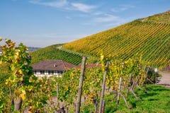 De vignoble de rangées de vin automne changeant d'automne de saisons de journée dehors Image libre de droits