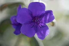De vijf bloemblaadjes van de gloriestruik stock afbeeldingen