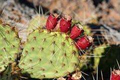 De vijgcactus van Beavertail met vruchten Stock Fotografie