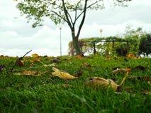 De vijgeboom doorbladert op ons binnenplaatsgras stock foto's