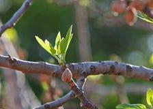 De vijgeboom van de lente Royalty-vrije Stock Foto