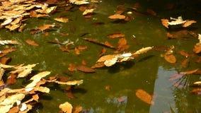 De vijver met de herfstbladeren bij het stadspark stock video