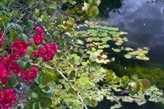 De vijver met lilly vult op en bloeit Stock Afbeeldingen