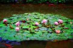 De vijver van de lelie met KOI Stock Fotografie