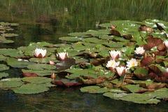 De vijver van de waterlelie Royalty-vrije Stock Fotografie