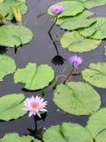De Vijver van Lotus Royalty-vrije Stock Afbeeldingen