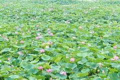 De vijver van Lotus Royalty-vrije Stock Afbeelding