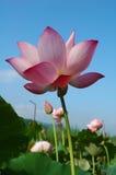 De vijver van Lotus Stock Afbeeldingen