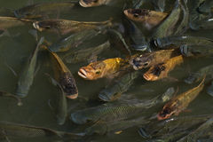 De Vijver van vissen Royalty-vrije Stock Foto's