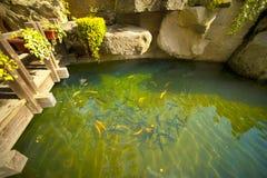 De vijver van vissen bij Japanse tuin Stock Foto's