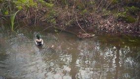 In de vijver zwemmen de eenden Wilde vogels in hun habitat Twee eenden - de mannetjeseend en het wijfje zwemmen stock videobeelden