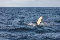 De Vin van de gebocheldewalvis Royalty-vrije Stock Afbeeldingen