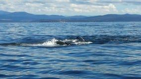 De vin van de gebocheldewalvis het meppen