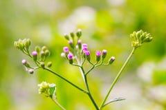 De violetta gräsblommorna Arkivbild