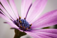 De violette bloem, macro dicht omhooggaand detail, openlucht gaeden stock fotografie