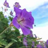 De violette bloem van de geraniumtuin in de zomer stock fotografie